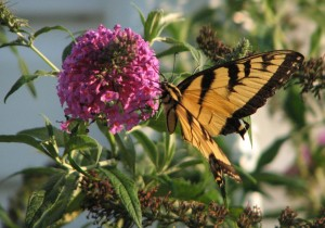 Monarch Butterfly on Butterfly Bush